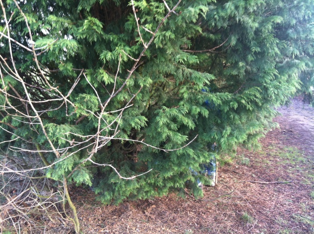 Sam is just visible amongst the branches of the fir tree where the first cache was hidden.