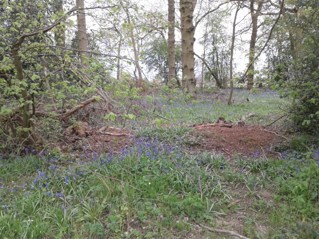 A Carpet of bluebells stretches into teh woods