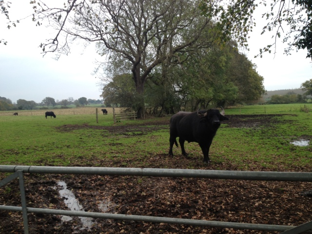 A large bull stands behind a gate and eyes me with interest.