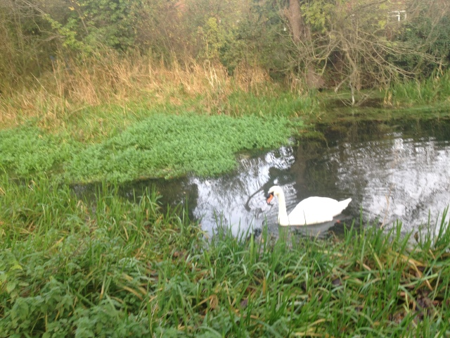 A swan glides across the surface of the canal