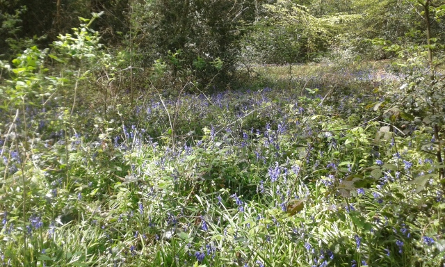 A woodland view through the trees where the bluebells can be clearly seen