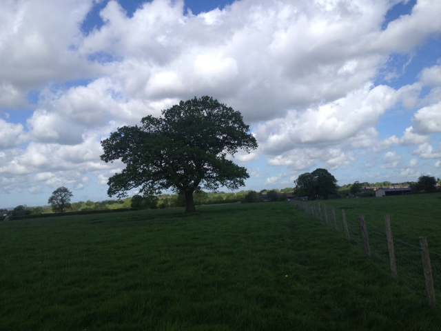 A single large Oak tree stands tall and majestic in the middle of a field.
