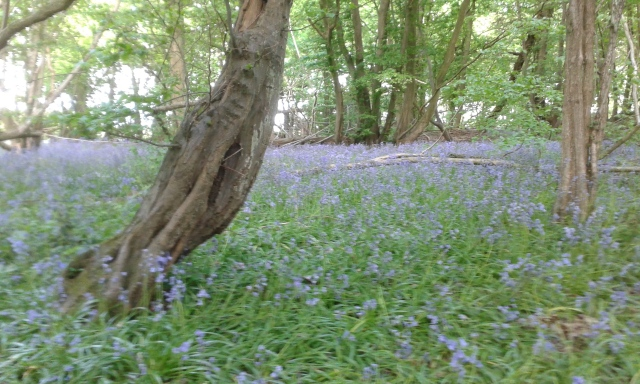 A carpet of bluebells lay on the ground amongst the trees in this ancient wood