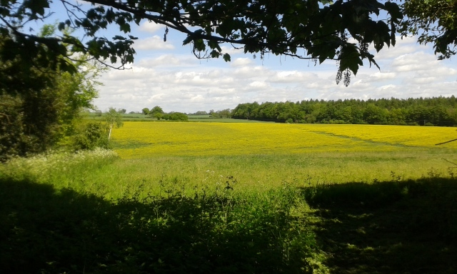 A sea of yellow extends beyond the framing of the low hanging branches. This picture is taken from inside the trees out across rolling farmers crop fields