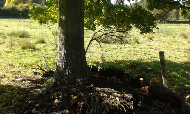 This picture shows an established oak tree growing in the remains of a trunk of an enormous oak tree.