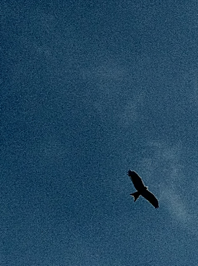The distinctive forked tail of a red kite can be clearly seen